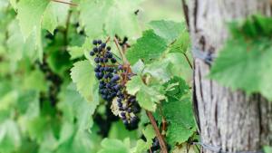 vinyard latitude 46
